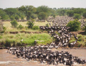 The  Wildebeasts Migration Worders