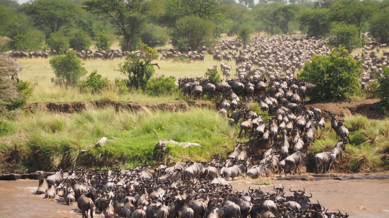 The  Wildebeasts Migration Worders