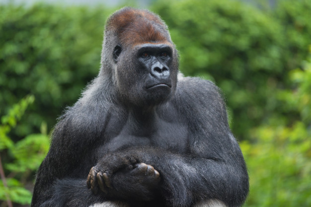 Everything you need to know about mountain gorillas in Africa